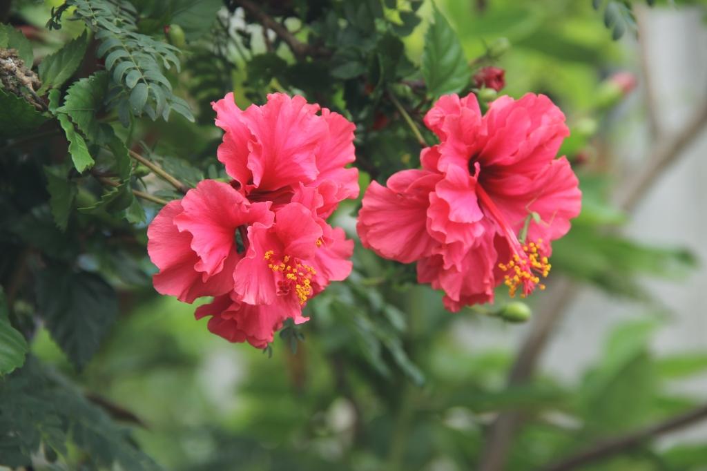 jamaica flor